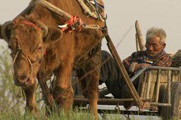 牛の鈴音の画像