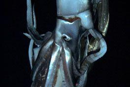 劇場版 NHKスペシャル 世界初撮影! 深海の超巨大イカの画像