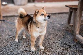 人気再浮上!つぶらな瞳の柴犬、これぞ愛され顔!?