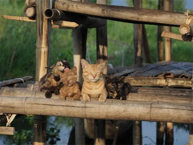 【写真を見る】ミャンマーのインレー湖上で暮らすネコたち(『岩合光昭の世界ネコ歩き あるがままに、水と大地のネコ家族』)