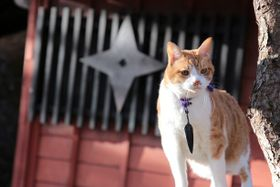 白茶トラ、真っ白な毛並み…日本猫のでっぷりした腰回りがたまらない!