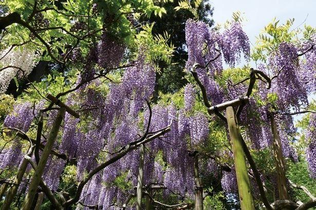 フジの木の立ち木作りの形式のため見上げずに観賞可能/春日大社神苑 萬葉植物園