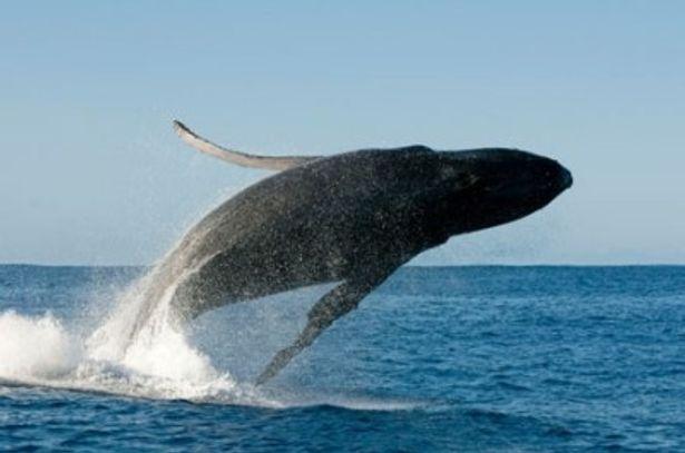 ジャンプするザトウクジラ