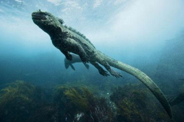 尻尾をくねらし華麗に泳ぐイグアナ