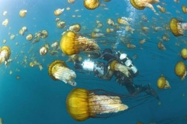 クラゲの群れと共に泳ぐダイバー