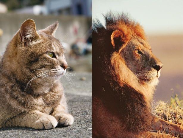 ネコとライオンの差異に迫る写真展(左:静岡県 西伊豆町、右:タンザニア ンゴロンゴロ自然保護区)