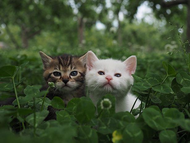とても愛らしいコトラの子供たち