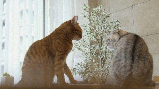 吉田修一の飼いネコはベンガルの金太郎とスコティッシュフォールドの銀太郎