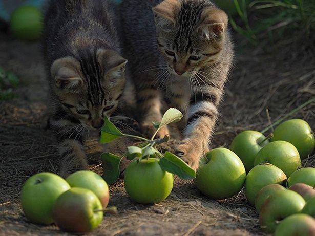 リンゴ農園で無邪気に遊ぶコトラの子ネコたち