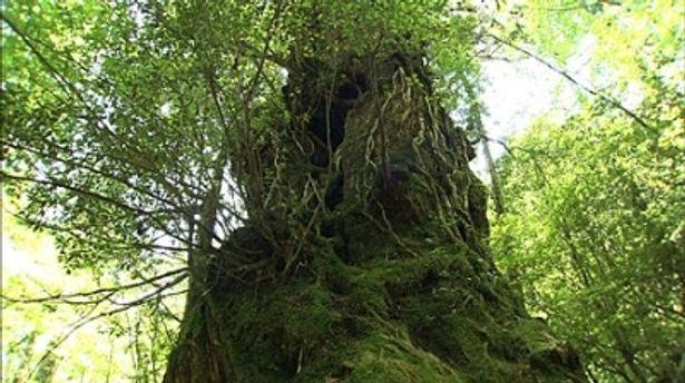 屋久島が誇る樹齢数千年の屋久杉