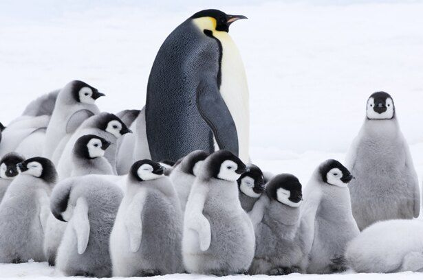 モフモフのヒナたちも身を寄せ合って暖をとる(『皇帝ペンギン ただいま』)