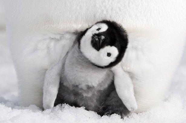 親ペンギンの足の間からチラッと顔を出す子ペンギン