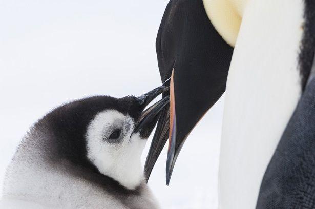 映画はマイナス40℃という過酷な地で子育てをする皇帝ペンギンの生態に迫る