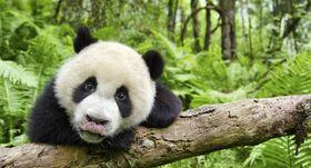 ジャイアントパンダらの可愛らしい姿が満載!『アース』第2弾が公開決定