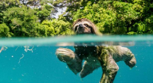 ピグミーミユビナマケモノは、メスの声を頼りに川を渡るが…
