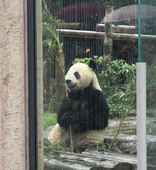 雨の日の動物園で濡れたパンダ