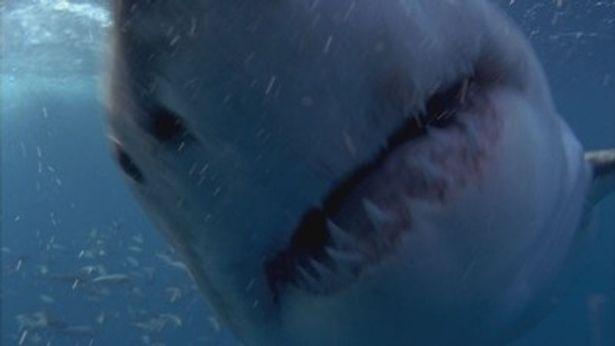 【写真】これが本物の巨大人喰いサメ! 凶暴な牙が何とも恐ろしい