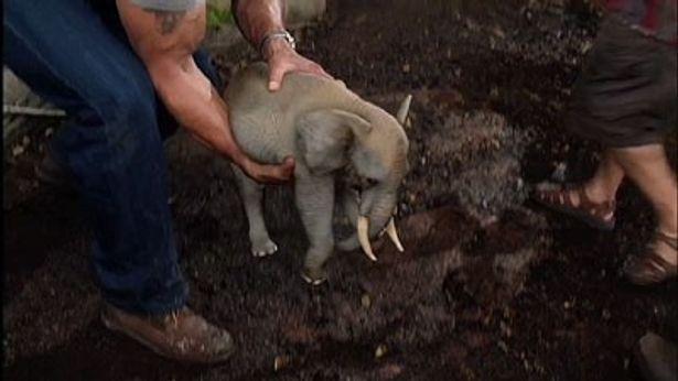 何とも可愛らしいサイズのゾウを発見&捕獲!