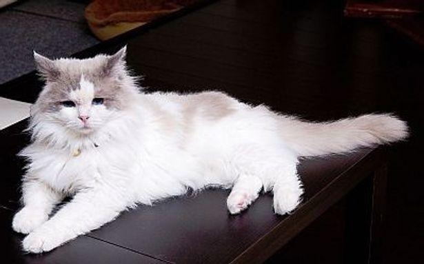ネコは寒いところが苦手!写真はラグドールのアンジェリーナちゃん