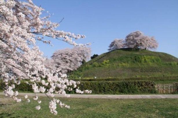 石田三成が忍城への水攻めの際に本陣を構えた丸墓山古墳。エンドロールにも登場する