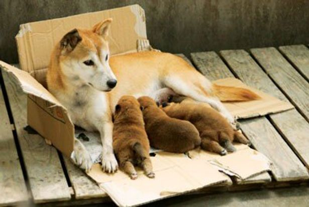 生まれたばかりの子犬を守ろうと、近づく人間を威嚇し続ける。母犬・ひまわりの強さに感動!