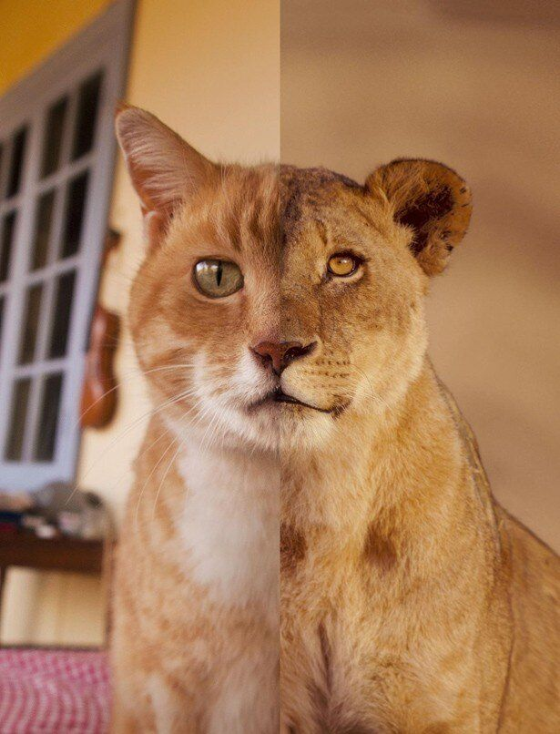 岩合光昭写真展「ネコライオン」は8月10日(土)から10月20日(日)まで東京都写真美術館で開催