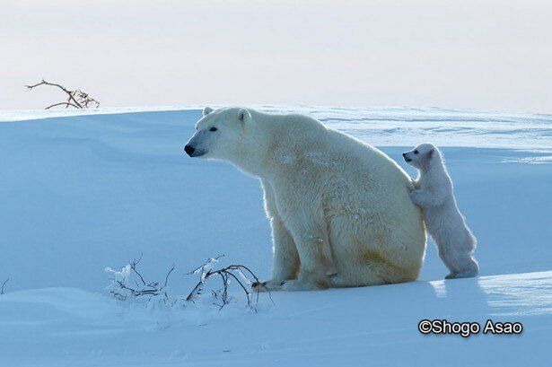 あまり動こうとしない母グマの背中から一緒に遊ぼうとせがむ生後2ヶ月ほどの子グマ