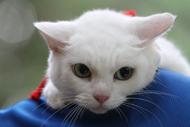 こちらが強面の侍を骨抜きにしてしまう白猫・玉之丞!
