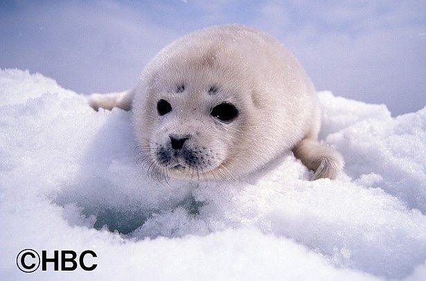 氷上で親に守られながら成長していくゴマフアザラシの子供