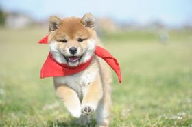知名度&人気NO.1の愛され犬!「マメシバ」最新作から悶絶必至の秘蔵写真を一挙公開!