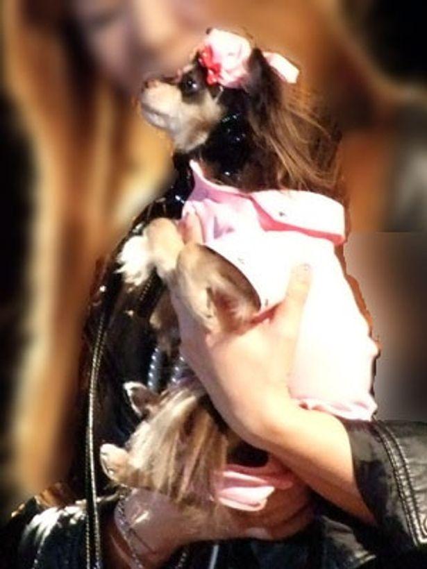 """チワワのココアくんはピンクの革のライダースで""""スマート""""にキメ!"""