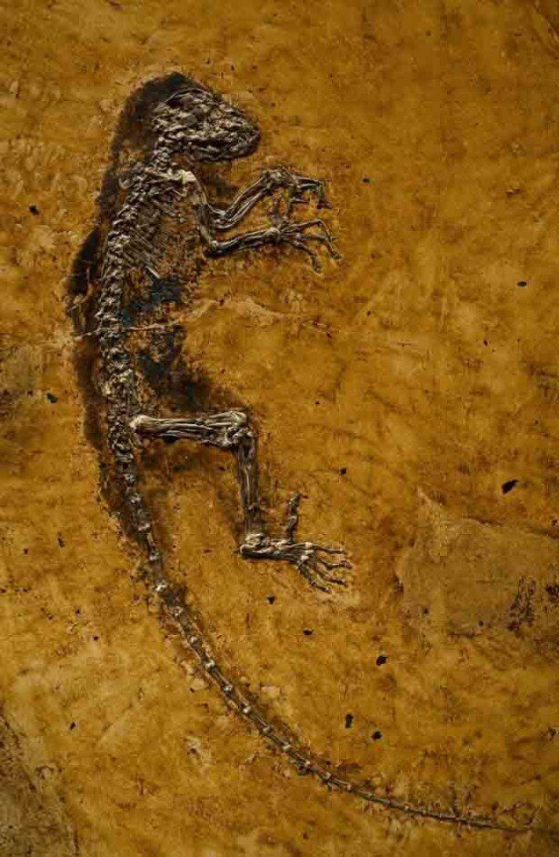 特別展「生命大躍進」が東京・国立科学博物館で開催。全身の95%の骨格が残る霊長類化石「イーダ」など超貴重化石を展示