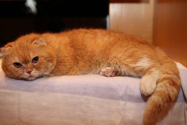 ブサカワ猫が大人気!湘南動物プロダクション所属の猫・ティティ